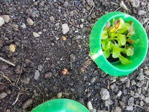 CAN YOU EAT THE GREEN SHOOTS OF SHALLOTS growin around lettuces