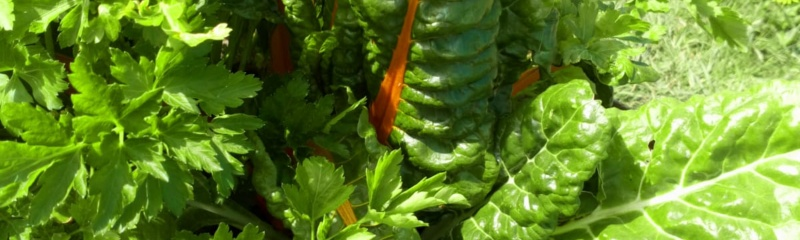When to harvest different vegetables  greens