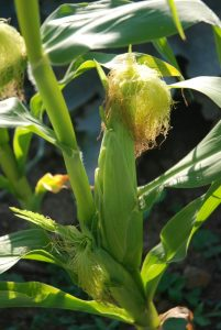 When to sow different vegetables Sweetcorn is a tender plant