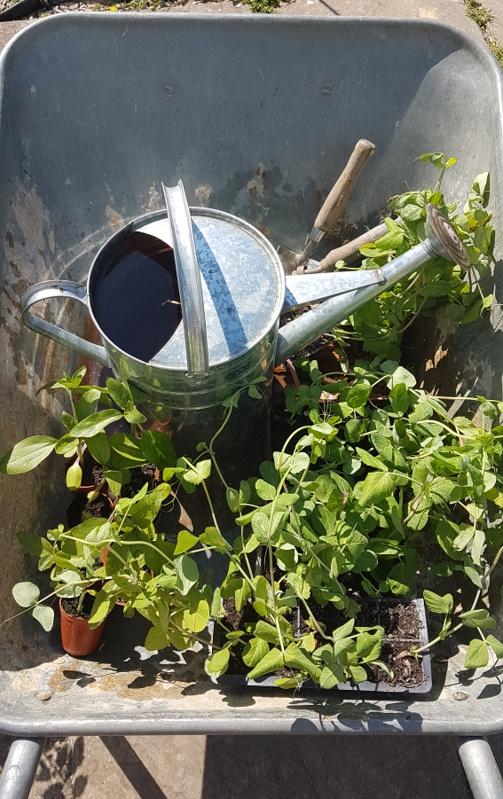 Dilute stinging nettle fertilizer