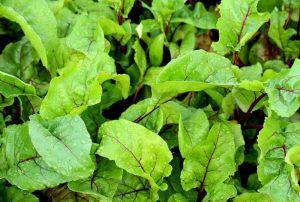 Edible thinnings eat beetroot seedlings