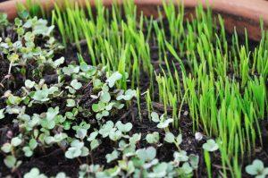 Seedlings thinnings edible
