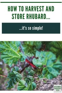 how to store rhubarb and how to harvest rhubarb